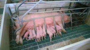 El MAPA ultima un nuevo RD de normas básicas de ordenación de las explotaciones porcinas intensivas